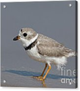Piping Plover Charadrius Melodus Acrylic Print