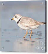 Piping Plover II Acrylic Print