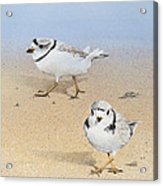Piping Plovers Acrylic Print