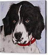 Pippy The Springer Spaniel Acrylic Print
