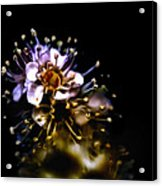 Anthers Acrylic Print