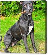 Pit Bull Terrier II Acrylic Print