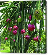 Pitaya Fruit Trees Acrylic Print