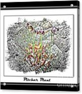 Pitcher Plant Illustration Acrylic Print