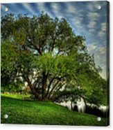 Pithers Willow Acrylic Print