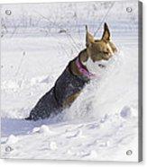 Pitt Bull Snow Plow Acrylic Print