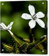 Pixie Flower Acrylic Print