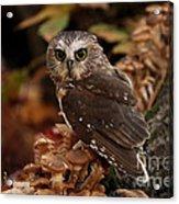 Pixie Saw Whet Owl Watching You Acrylic Print