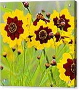 Plains Coreopsis Acrylic Print