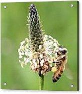 Plantain Pollen Acrylic Print