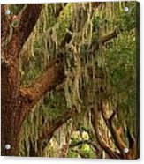 Plantation Oak Trees Acrylic Print