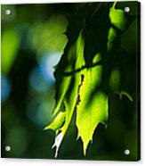 Play Of Light On Maple Leaves Acrylic Print