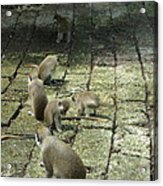 Green Monkey Play Time Acrylic Print