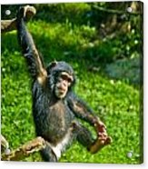 Playful Chimp Acrylic Print