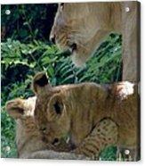 Playful Cubs Acrylic Print