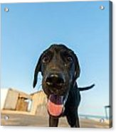 Playful Dog Closeup Acrylic Print