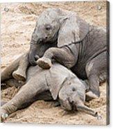 Playful Elephant Calves Acrylic Print