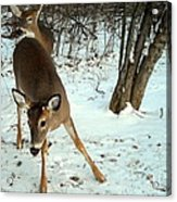 Playful In The Snow Acrylic Print