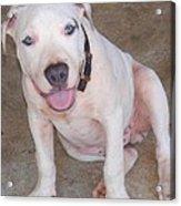 Playful Pitbull Puppy Haaweo Acrylic Print