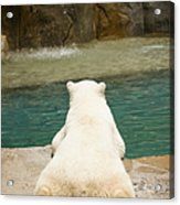 Playful Polar Bear Acrylic Print by Adam Romanowicz