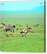 Playfull Zebras Acrylic Print