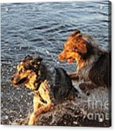 Playing Intensely Acrylic Print