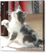 Playing Kitten Acrylic Print