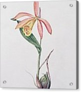 Pleione Zeus Wildstein Acrylic Print