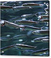 Plenty Of Fish In The Sea Acrylic Print