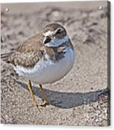 Plover Lover.. Acrylic Print