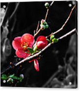 Plum Blossom 3 Acrylic Print