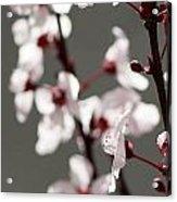 Plum Blossom II Acrylic Print by Peter Tellone