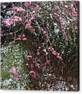 Plum Blossom In The Snow Acrylic Print
