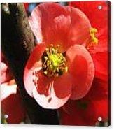 Plum Branch Acrylic Print