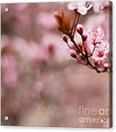 Plum Flower On Branch - Spring Concept Acrylic Print