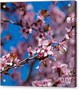 Plum Flowers And Honey Bee Acrylic Print