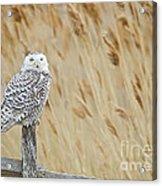 Plum Island Snowy Owl On A Fence Post Acrylic Print