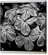 Plumbago In Gray Acrylic Print