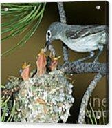 Plumbeous Vireo Feeding Worm To Chicks Acrylic Print