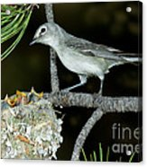 Plumbeous Vireo With Four Chicks In Nest Acrylic Print