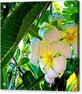 Plumeria Beauty Acrylic Print
