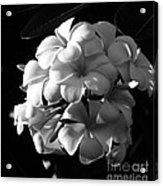 Plumeria Black White Acrylic Print
