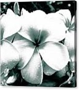 Plumeria Bunch No Color Acrylic Print by Lisa Cortez