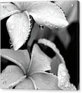 Plumeria Drip Acrylic Print
