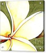 Plumeria Flower Acrylic Print