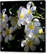 Plumeria Glow Acrylic Print