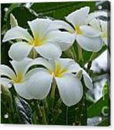 Plumeria In The Rain Acrylic Print