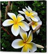 Plumeria In The Sunshine Acrylic Print