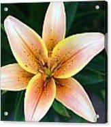 Plumeria Acrylic Print