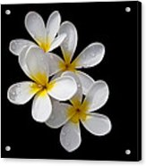 Plumerias Isolated On Black Background Acrylic Print